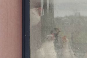 Annemarie van Hooff 'Sneeuwkippen'